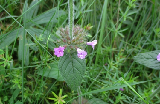 Wild basil (Clinopodium Vulgare L.) - benefits, action and applications
