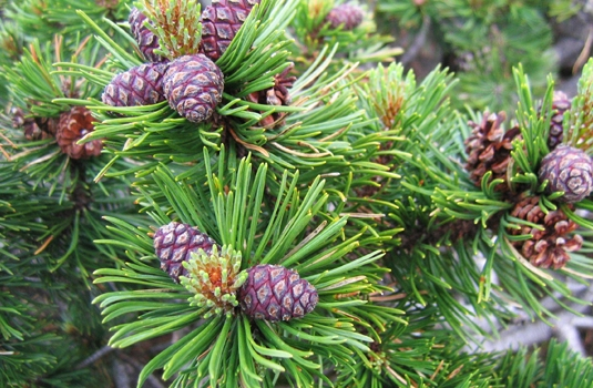 Alpine pine cone extract - powerful tool for good health of the whole family