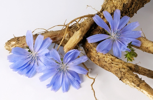 Chicory - description, distribution and healing properties