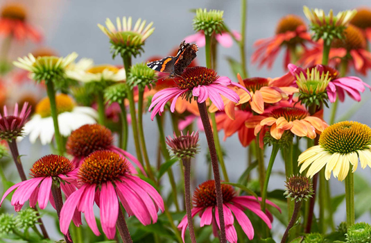 When to use echinacea and when to avoid it?