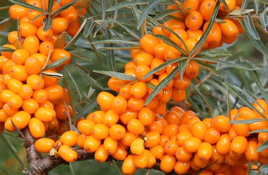 Sea buckthorn - miracle plant for beautiful skin