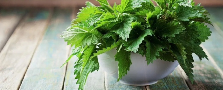 Nettle - benefits, action and application