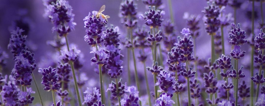 Lavender - healing effect and application