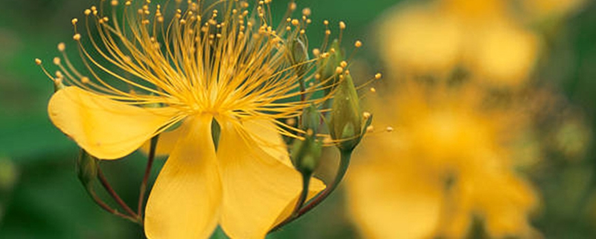 St. John's wort - benefits, application and side effects