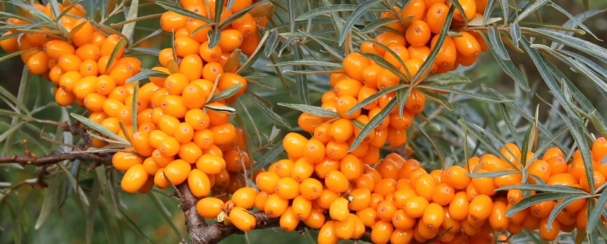 Облепиха - растението чудо за красива кожа