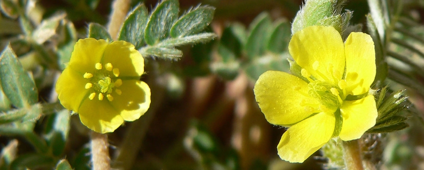Information and useful properties of Tribulus Terrestris