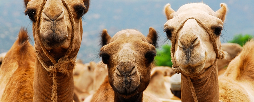 Чудодейният продукт камилско мляко (част 2)