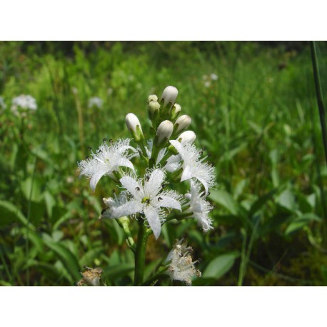 Водна детелина - Menyanthes trifoliata L.