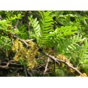 Honey locust (Gleditsia triacanthos L.), dried fruit - 30 g