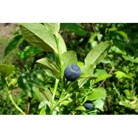 Черна боровинка - Vaccinium myrtillus L