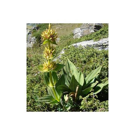 Жълта тинтява - Gentiana Iutea L.
