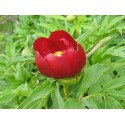 Peony (Paeonia peregrina Mill.), dried flower, 20 g