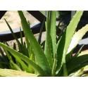 Алое (Aloe Ferox), extract, 1 g